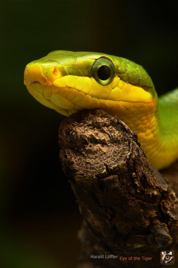 Gonyosoma oxycepahlum - Spitzkopfnatter