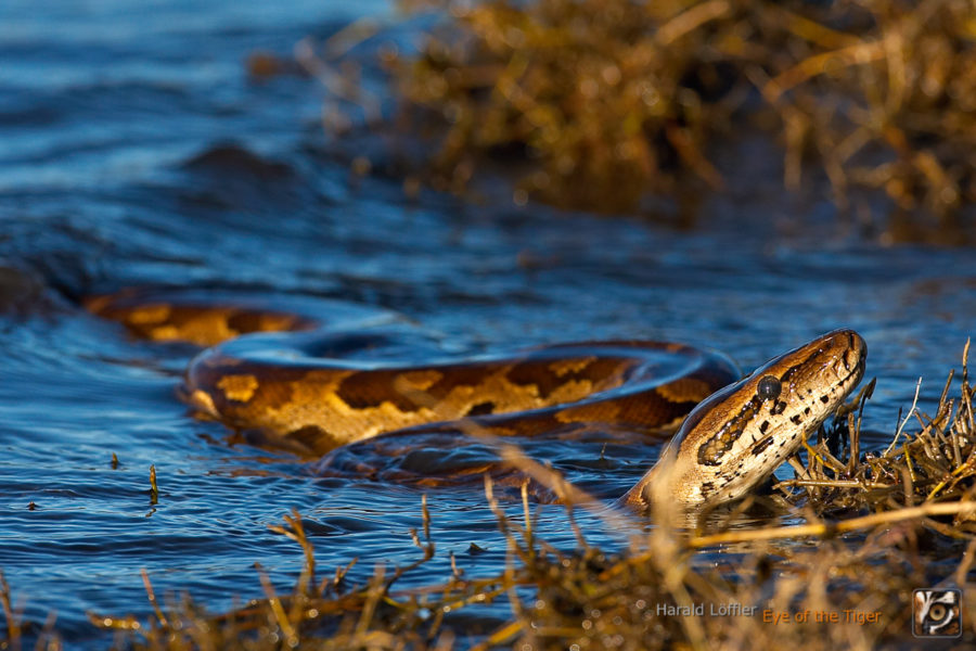 Python natalensis - Südlicher Felsenpython