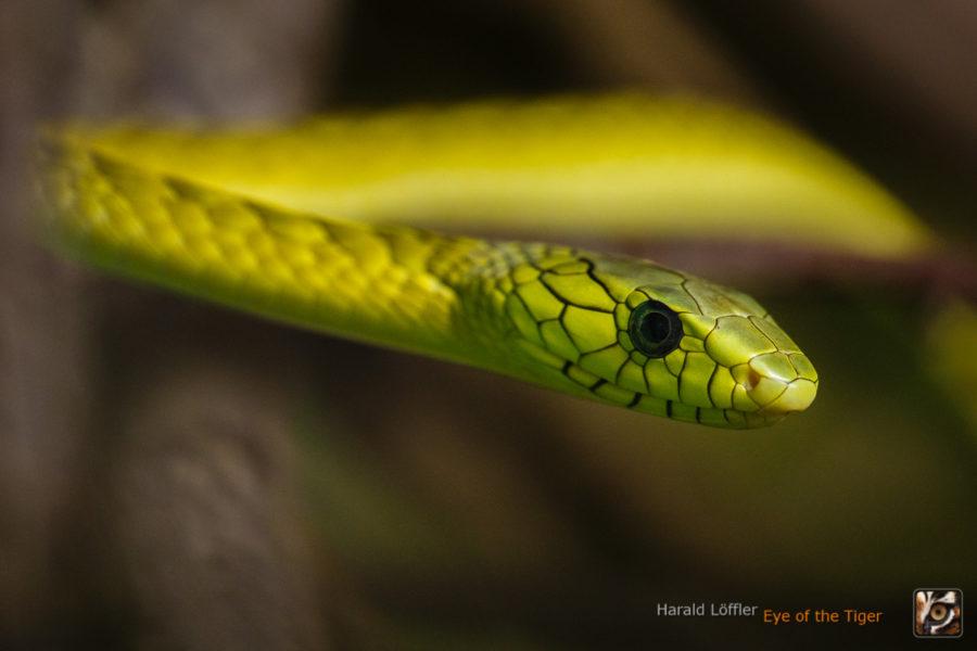 Dendroaspis viridis - Grüne Mamba