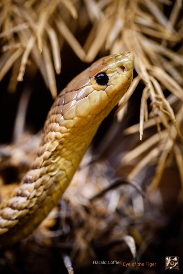 Naja anchietae - Anchietas Kobra