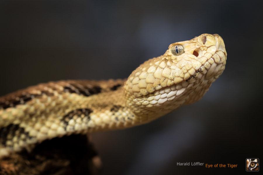 Crotalus horridus - Waldklapperschlange
