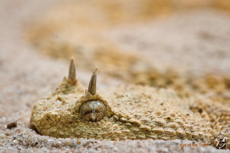 Cerastes cerastes - Wüsten-Hornviper