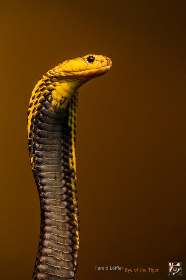 Naja samarensis - Samar-Kobra