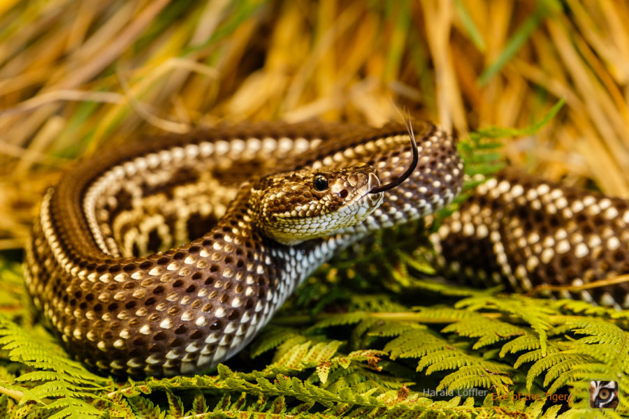 Crotalus durissus terrificus - Schauerklapperschlange