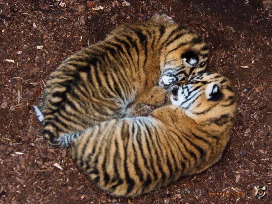 20050521 IC5S0119 900x675 - Tiger