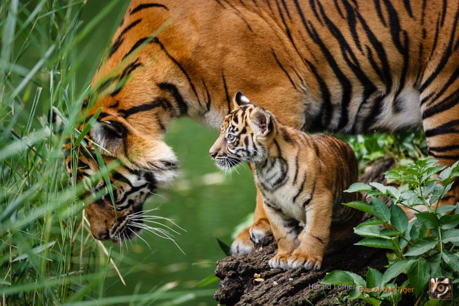 20050730 IC5S4461 900x600 - Tiger