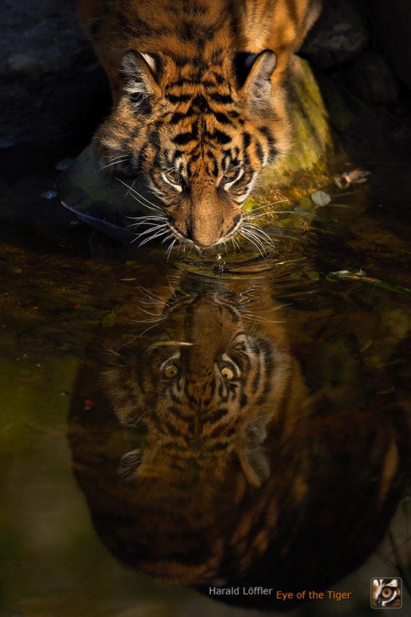 20051210 IC5S0331 02 600x900 - Tiger