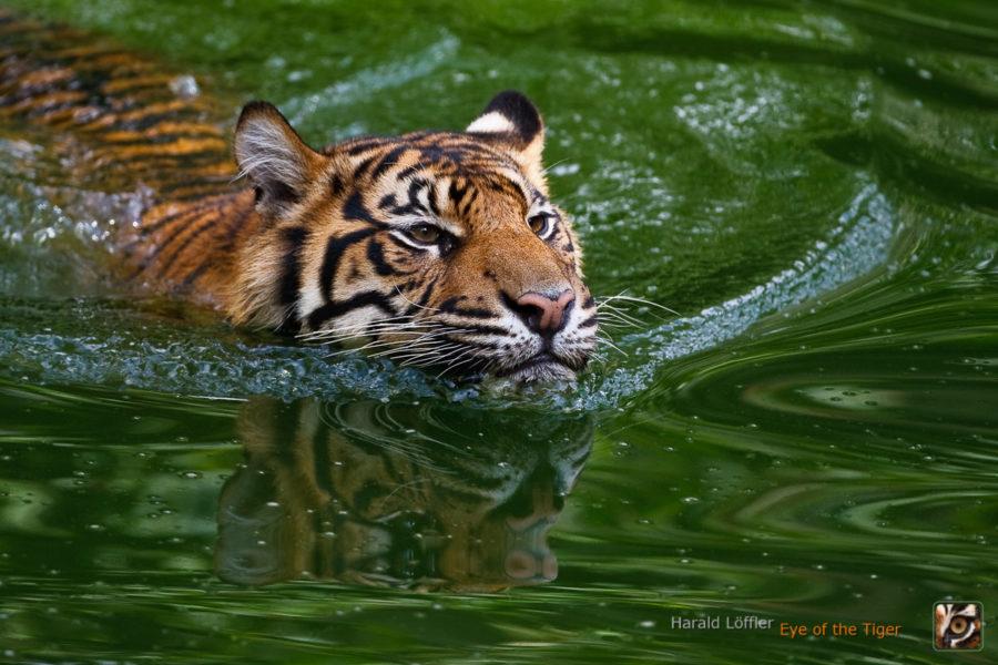 20060813 HL1 9364 900x600 - Tiger
