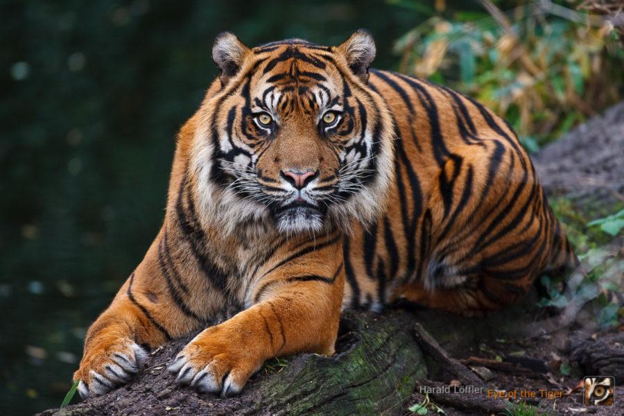 20061219 HL1 2174 01 900x600 - Tiger