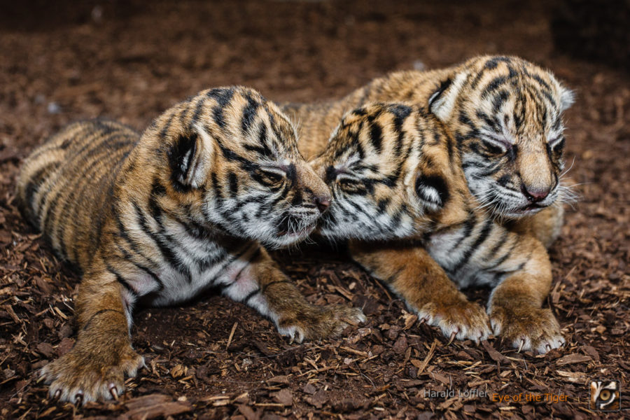 20070405 HL2 9362 900x600 - Tiger