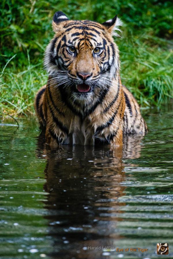 20140708 HL7 4502 600x900 - Tiger