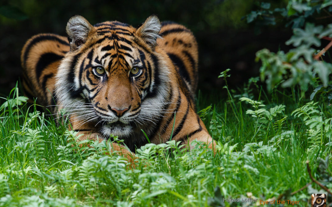 "Happy ""Global Tiger Day"""