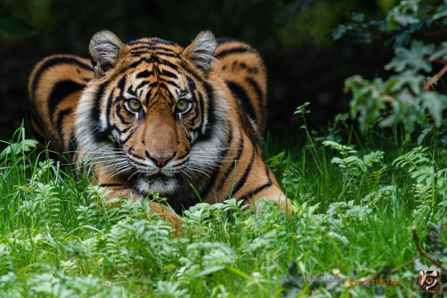 20140728 HL5 1204 900x600 - Tiger