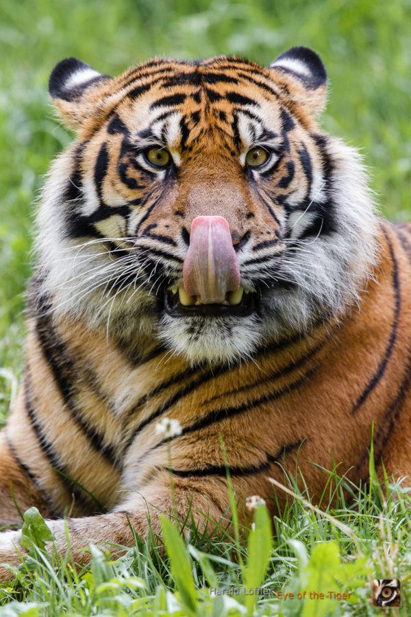 20140728 HL5 1275 600x900 - Tiger