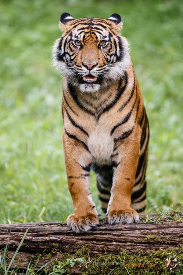 20140728 HL7 4668 600x900 - Tiger