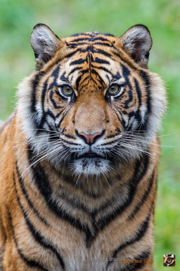 20141112 HL5 1310 600x900 - Tiger