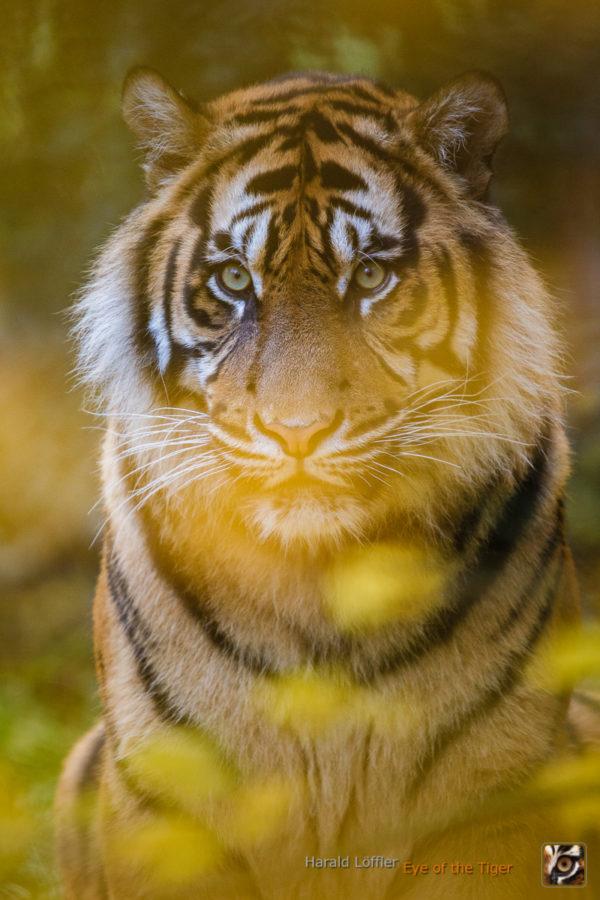 20141112 HL5 1363 600x900 - Tiger