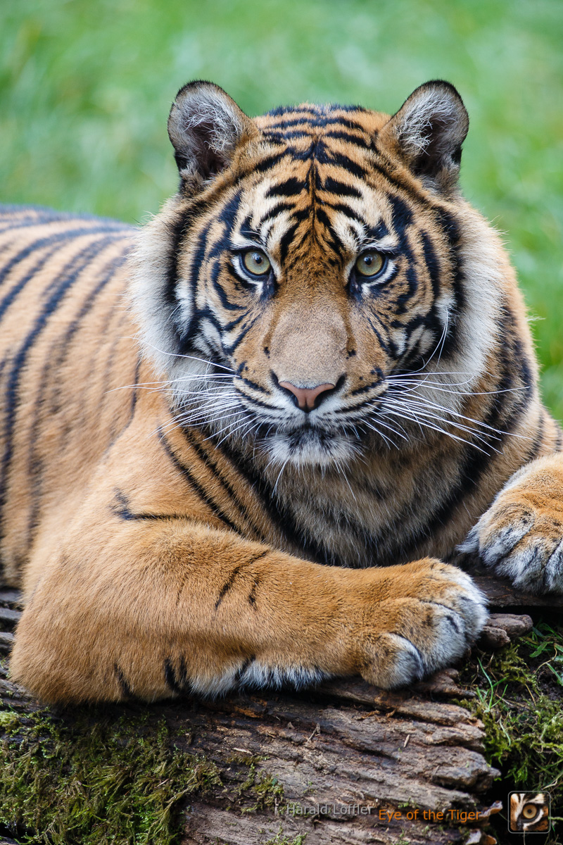"20141112 HL7 8056 01 - Happy ""Global Tiger Day"""