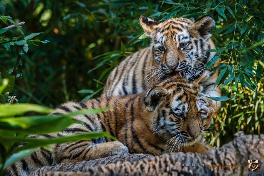 20151001 HL5 0052 900x600 - Tiger