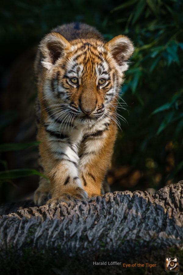 20151001 HL5 0096 600x900 - Tiger