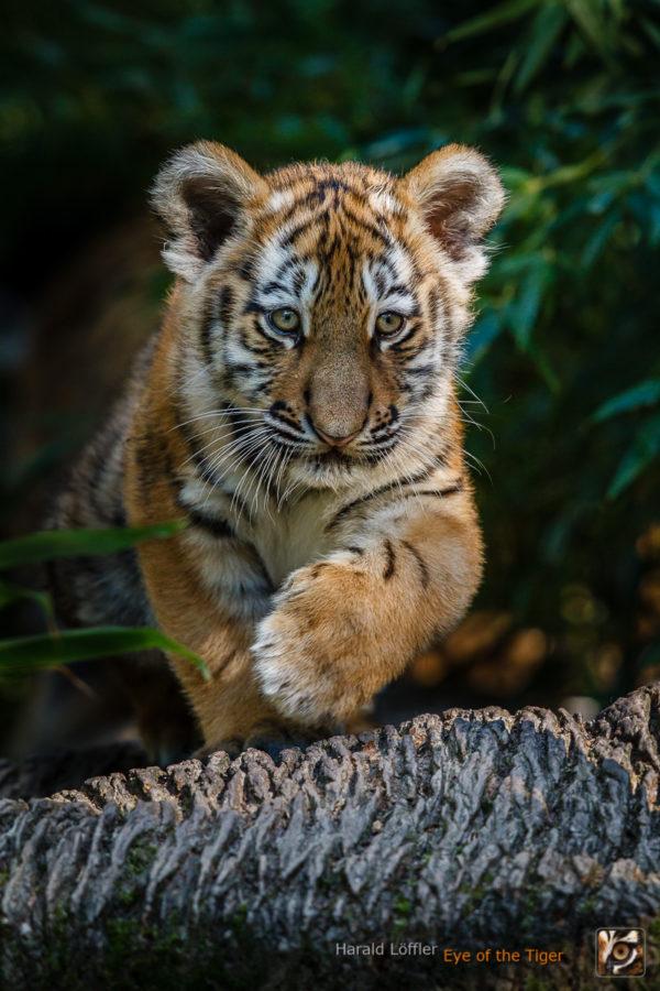 20151001 HL5 0108 600x900 - Tiger