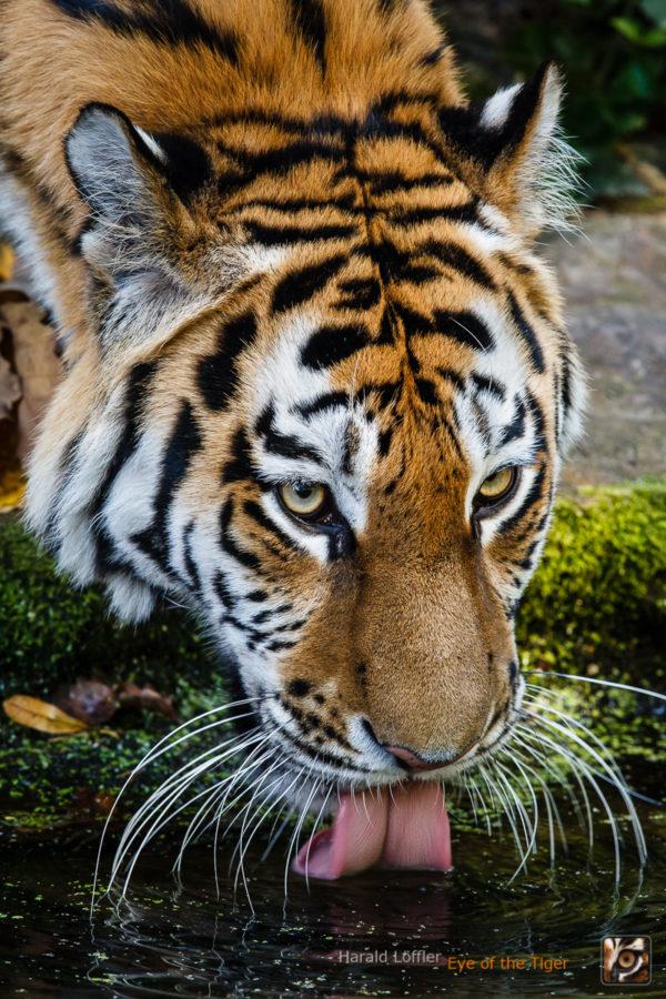 20151001 HL5 9981 600x900 - Tiger