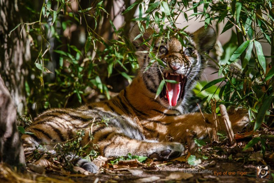 20151001 HL7 4855 900x600 - Tiger