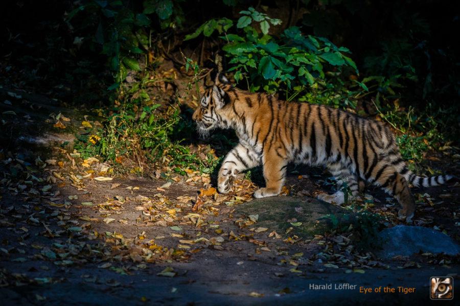 20151001 HL7 5174 900x600 - Tiger