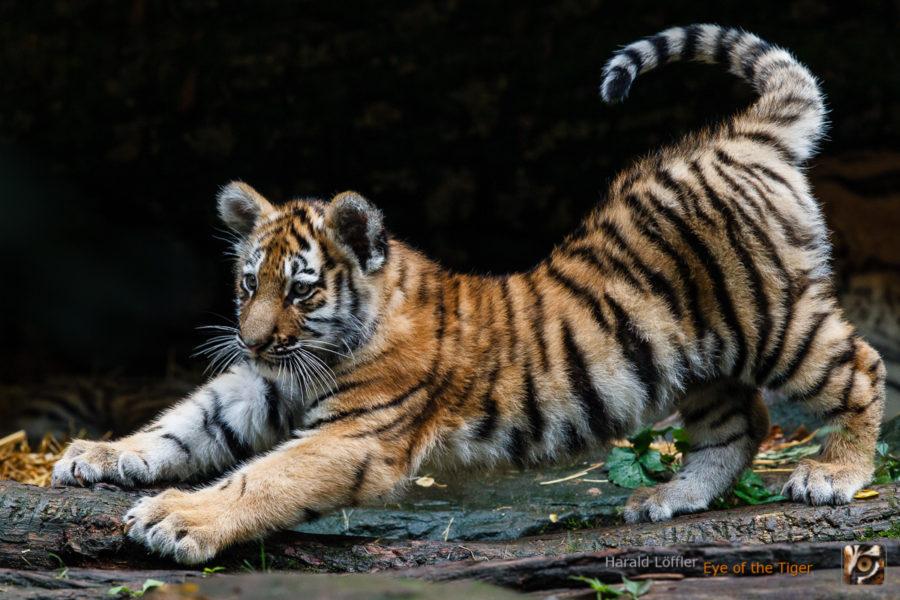 20151006 HL5 0366 01 900x600 - Tiger