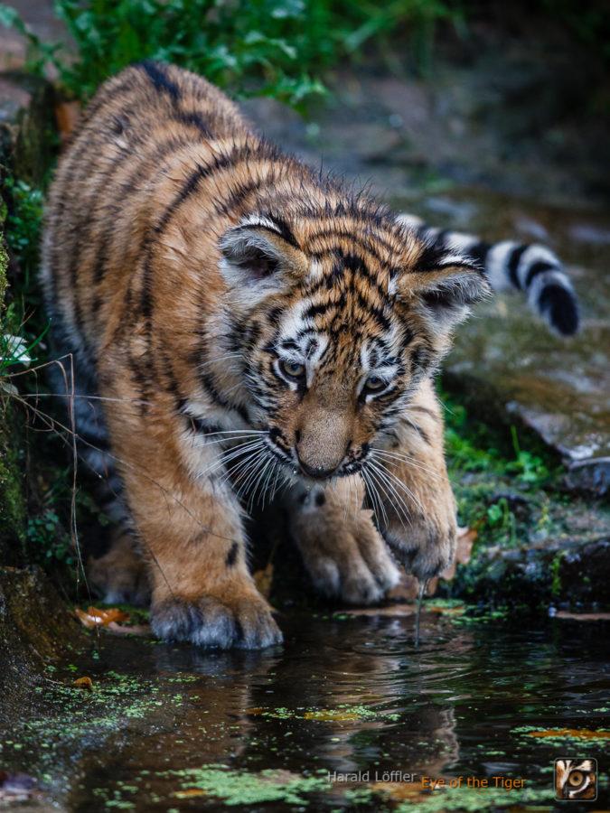 20151006 HL5 0417 675x900 - Tiger