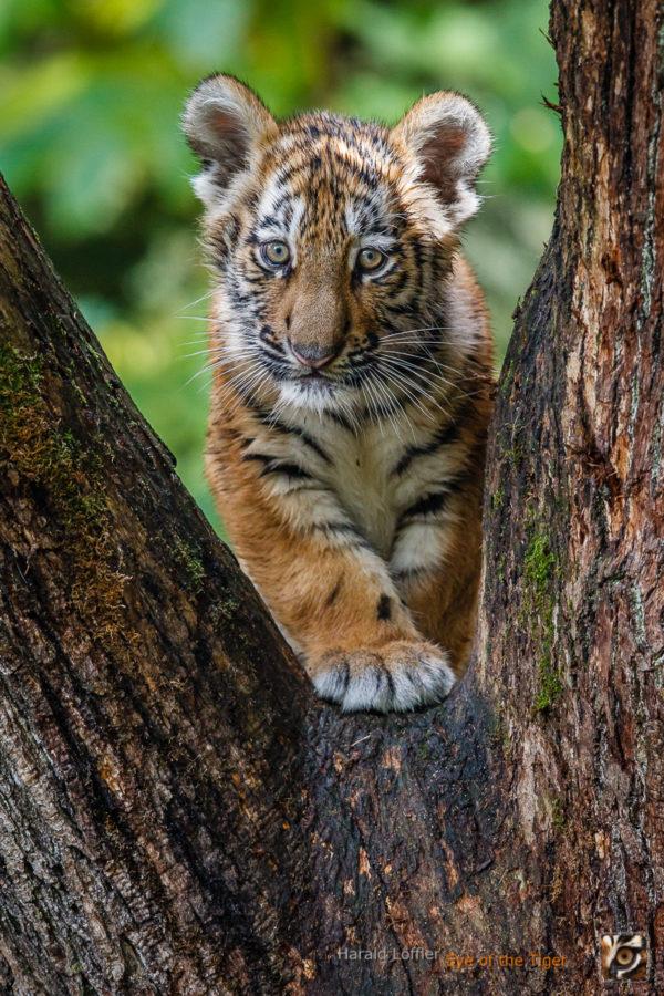 20151006 HL5 0434 600x900 - Tiger