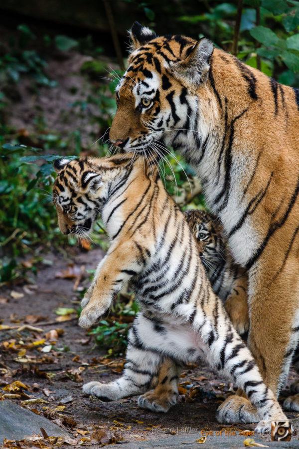 20151006 HL5 0522 600x900 - Tiger