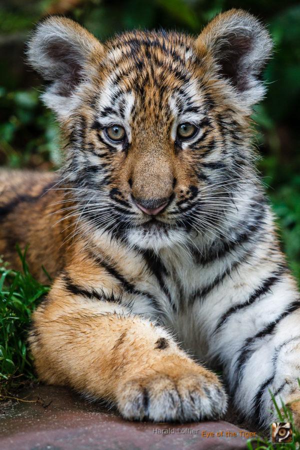 20151006 HL5 0525 600x900 - Tiger