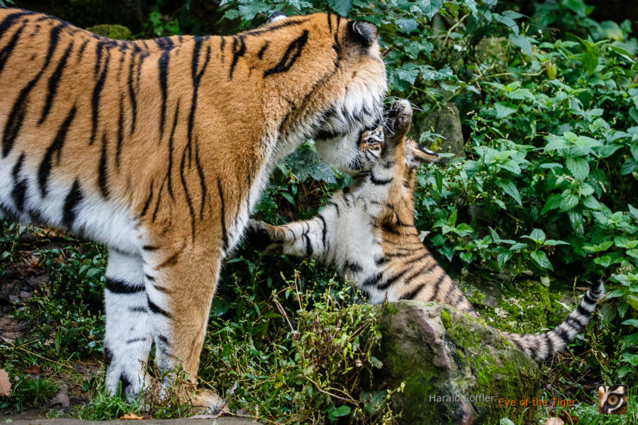 20151006 HL7 5323 900x600 - Tiger