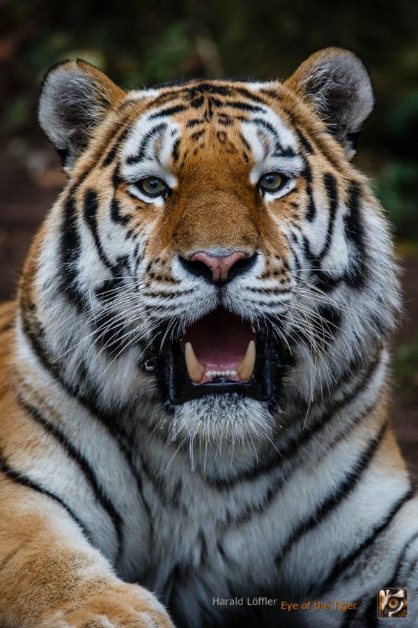 20151113 HL7 7986 600x900 - Tiger