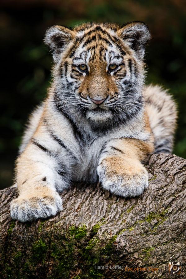 20151119 HL7 8132 600x900 - Tiger