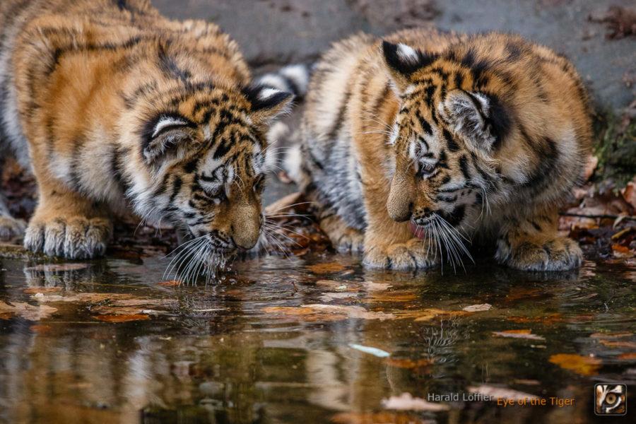 20151119 HL7 8274 900x600 - Tiger