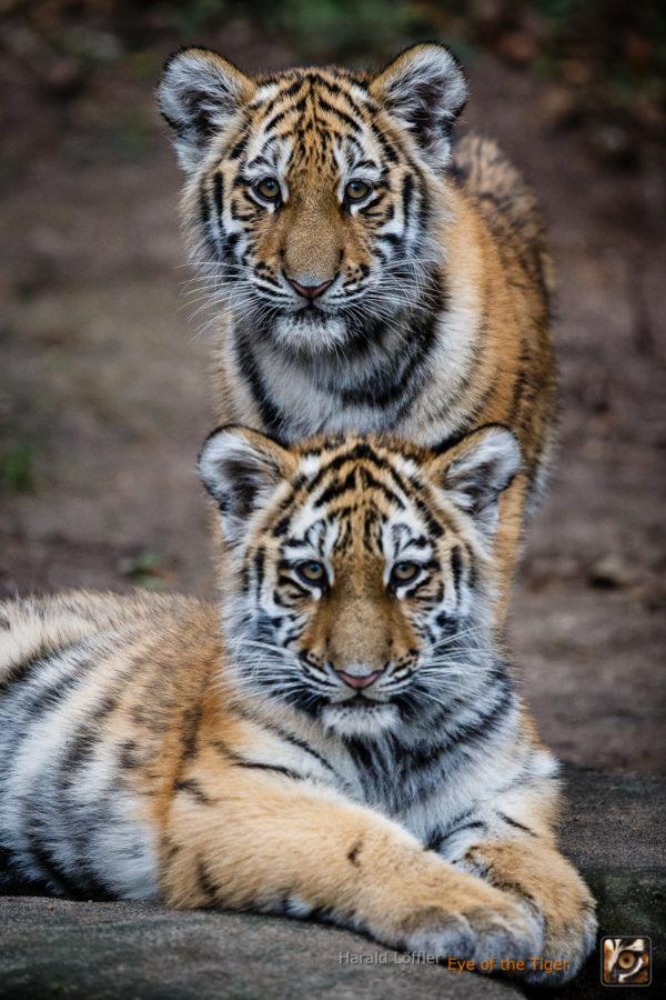 20151119 HL7 8388 600x900 - Tiger