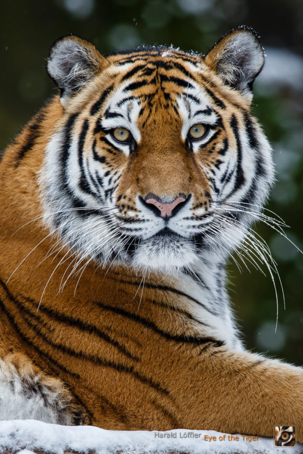 20160301 HL7 1434 600x900 - Tiger
