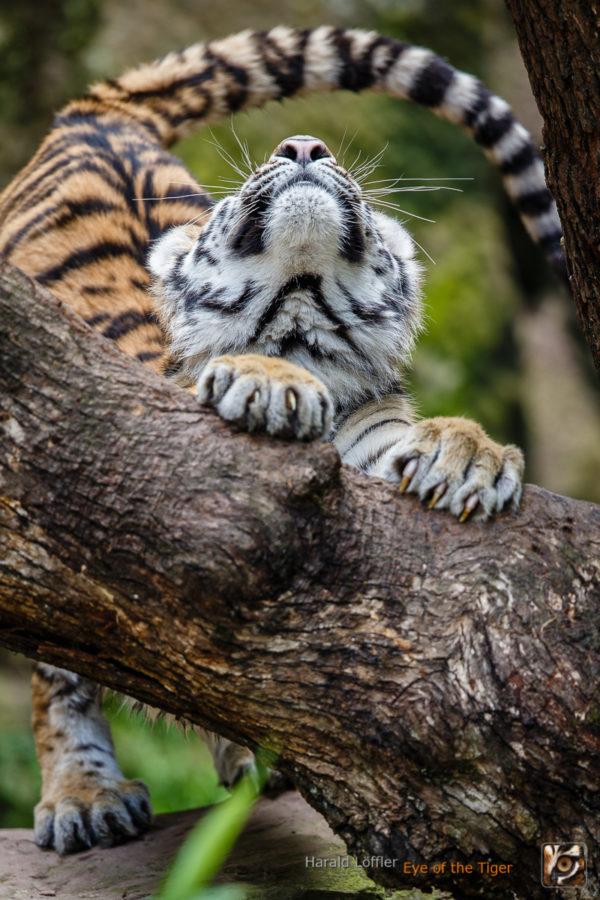 20160619 HL7 2814 600x900 - Tiger