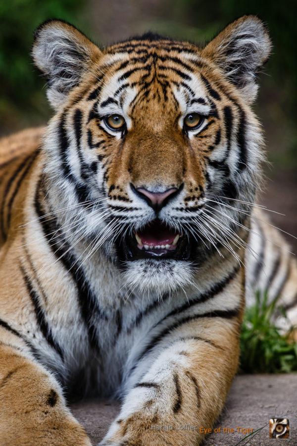 20160619 HL7 2950 600x900 - Tiger
