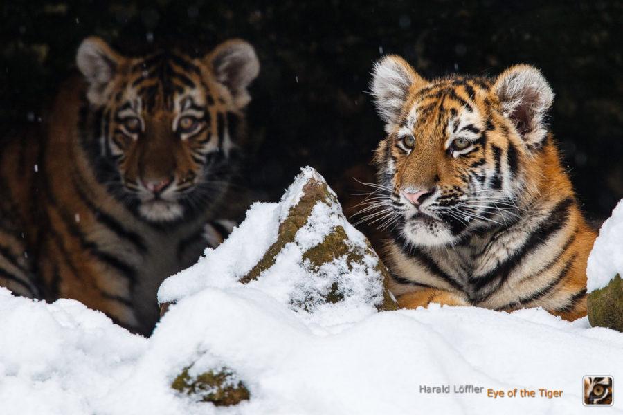 HL5 20100104 0285 900x600 - Tiger