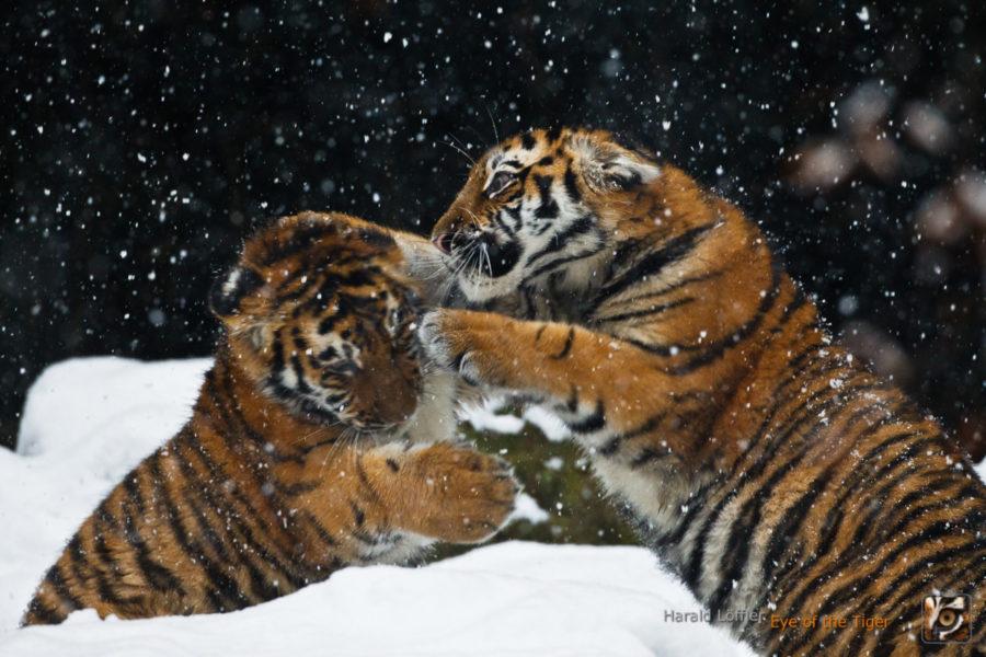 HL5 20100104 0361 900x600 - Tiger