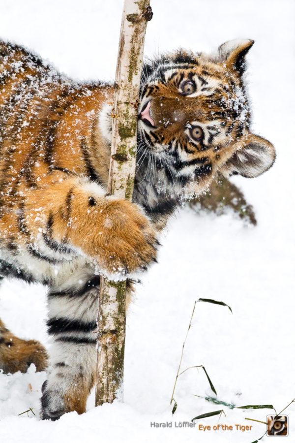HL5 20100104 0460 01 600x900 - Tiger