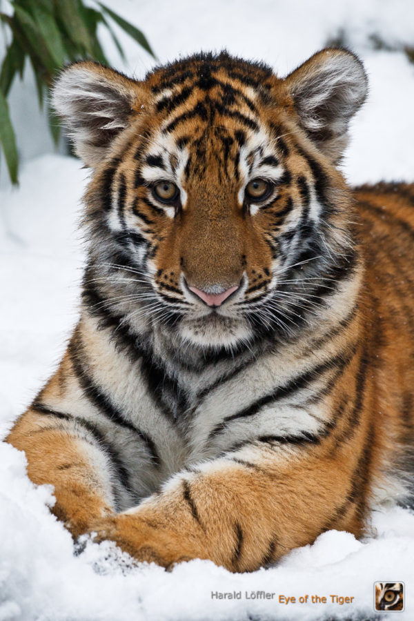 HL5 20100104 0586 600x900 - Tiger