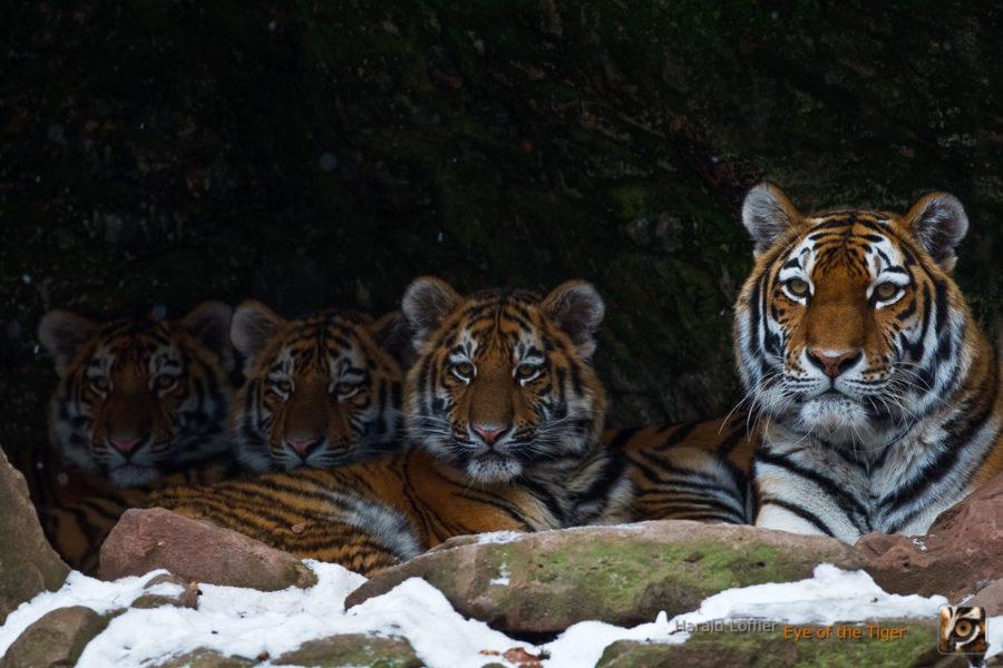 HL5 20100312 1903 01 900x600 - Tiger