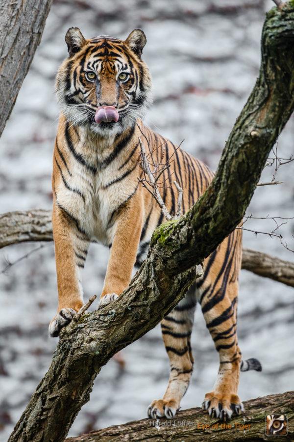 HL7 20131218 5682 600x900 - Tiger