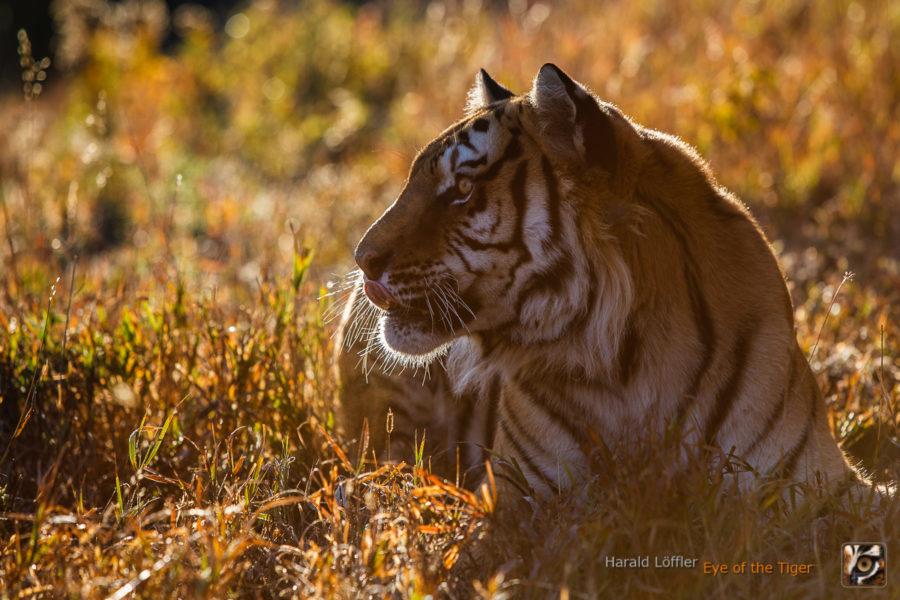 HL 20080930 1329 900x600 - Tiger