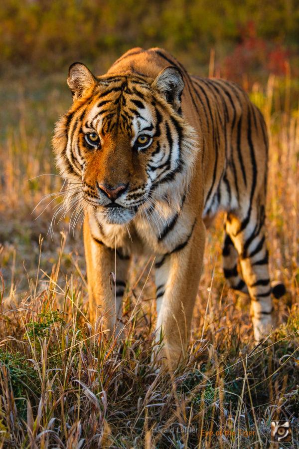 HL 20080930 1343 600x900 - Tiger