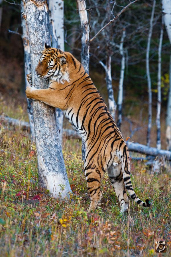 HL 20080930 1385 600x900 - Tiger